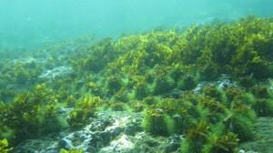 urchin barren zone