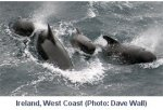 Pilot Whales, image from www.iwdg.ie